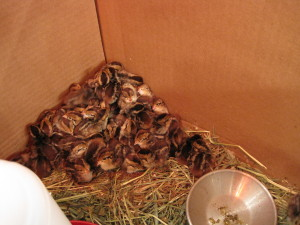 A pile of baby quails