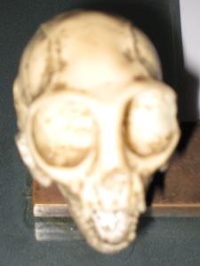 Tiny primate skull